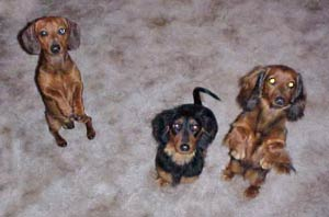 Hallie Art Dachshund Painting
